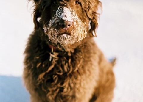 large red labradoodle dog in the snow